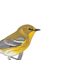 Pine Warbler, male. Painted and © by David Sibley