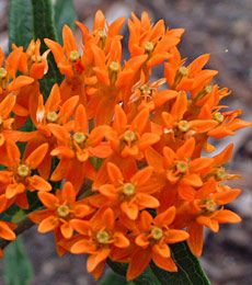 Asclepias tuberosa   also known as BUTTERFLY WEED.  Blooms in July-Sept.  Grow in full sun.  Nicely fragrant..great for hummingbirds and of course butterflies.....
