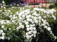 Grows well in Denison, Texas.  SmartScape Plant Details - Bridal Wreath Spiraea