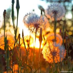 Dandelions in the sunshine photography sky outdoors flowers sun