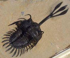 Walliserops--trilobite