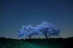 桜と星空 Cherry blossom and starlit sky | Nagasaki365 - 長崎の今をお届けします。