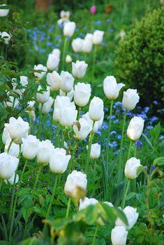 Weiße Tulpen bringen Helligkeit in den Frühlingsgarten