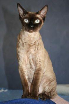 Devon Rex Cat---- I WANT IT!!