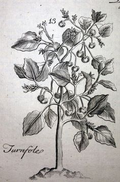 "Chrozophora tinctoria (turnsoles) from Pierre Pomet, ""A Compleat History of Drugs"" (London: 1737)"