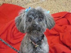 ~ Animal ID #A031872 ‒ My Name is DIAMOND. I am a Female, Bl brindle Toy Poodle mix. The shelter thinks I am about 2 years old. I have been at the shelter since May 17, 2015. TJ O'Connor Adoption Center ‒ (413) 781-1484 627 Cottage Street Springfield, MA https://www.facebook.com/OPCA.Shelter.Network.Alliance/photos/pb.481296865284684.-2207520000.1432906471./826151887465845/?type=3&theater