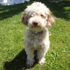 Elsa is an adoptable Poodle Dog in Janesville, WI. Elsa is an adorable Miniature Poodle mix looking for her forever home! Else is an energetic girl that loves attention! She sadly was found stray and ...