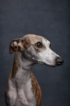 Whippet. By Ty Foster.