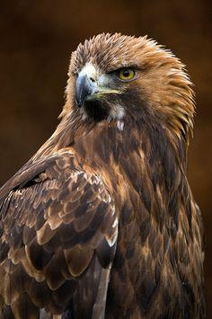 Golden Eagle (Aquila chrysaetos) One of my favs! All Birds, Birds Of Prey, Animals Images, Nature Animals, Beautiful Birds, Animals Beautiful, Aigle Animal, Nicolas Vanier, Raptor Bird Of Prey