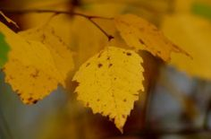 Birch Trees Offer Multi-Season Interest: River birch trees have yellow fall foliage.