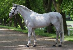 Kladruber - stallion Sacramoso Rabona III