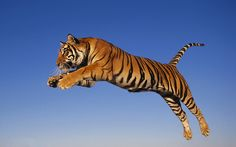 Tiger Reiki Distant Empowerment | Light And Love Reiki, School