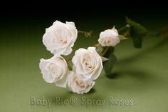 Baby Rio® PRINCESS Spray Rose