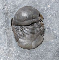 Nanillaenus latiaxiatus -  Trilobites.com presented by EXTINCTIONS Inc.