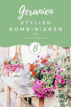 4 Tricks zum Geranien kombinieren ✓ ohne Oma-Flair auf die moderne Art ✓ Mix mit unterschiedlichen Pflanzen zum Bepflanzen von Balkonkästen ✓ So kannst du deine Balkonkästen mit Geranien in Rot, Pink oder Weiß verschönern ✿ Balkonrosen Blog