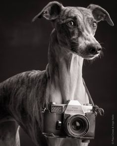 Whippet - Photographer: Paul Croes