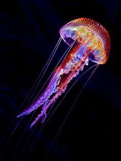 Jellyfish Pelagia noctiluca, mauve stinger, from the mediterrean sea at Menorca, Spain.