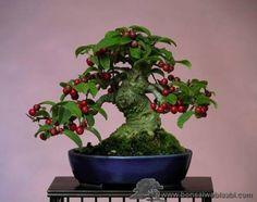 JP: Pyracantha Coccinea - Scarlet Firethorn