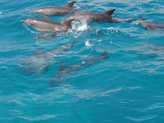 Red Sea Dolphin