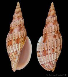 Lyria (Indolyria) lyraeformis lyraeformis