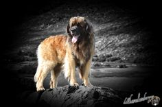 Leonberger Delboy keeping a eye on sully