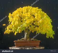 stock-photo-linden-bonsai-in-fall-21250687.jpg 1.500×1.392 Pixel