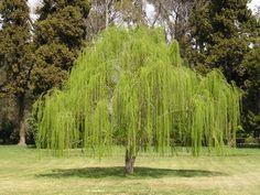 Árvore Salgueiro Chorão