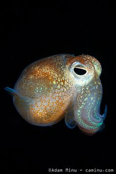 Squid And I will call you my Squishy! :) Bobtail Squid (photo by Adam Minu)And I will call you my Squishy! :) Bobtail Squid (photo by Adam Minu) Beautiful Sea Creatures, Deep Sea Creatures, Underwater Creatures, Underwater Life, Cuttlefish, Sea Slug, Ocean Life, Marine Life, Under The Sea