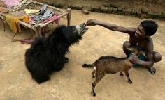 The boy and his pet bear...Ghasiram Kisan feeds Buddu, a 1.5 year old sloth bear ...in Lakhapada, India....the wild bear, rescued by wildlife officials, wandered into the village,...has lived with the family...