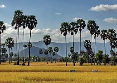 The beautiful Landscape with breathing fresh air in the rice field, Cambodia.