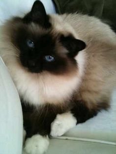 Tabby Cats Search our Lost Birman pet register database Cute Cats And Kittens, I Love Cats, Crazy Cats, Cool Cats, Kittens Cutest, Pedigree Cats, Domestic Cat Breeds, Birman Cat, Siamese Cats