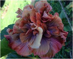 O belo Hibiscus hybridum 'Coccoa royale' da imagem acima, que possui grandes flores dobradas de até 19cm de diâmetro, é uma das muit...