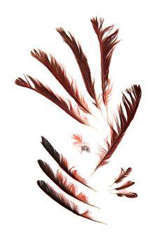 cardinal feathers (mary jo hoffman)
