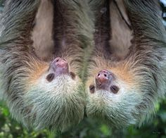 Sloth Photograph - How Cute Is This by Betsy Knapp