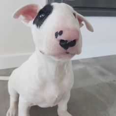 8 отметок «Нравится», 1 комментариев — Odin the Bull Terrier (@odin_the_bull_terrier) в Instagram: «Officially #odinthecute .. just look at that little face ❤❤❤❤ . . Thanks for the late night inspo…»