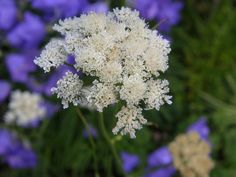 Bunium bulbocastinum or Black Cumin. A neat perennial umbellifer flowering June/July. Thin stalks emerge from ground- hugging mats of foliage. Seed Special Plants UK