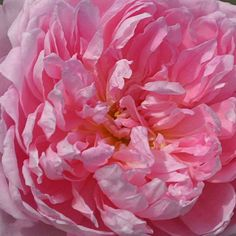 The Ingenious Mr. Fairchild - Large, peony like roses of deep pink touched lilac with a paler lilac on the outside of the fringe-like petals. Growth is spreading and arching into a well-rounded, mounding continual blooming bush. A strong fruit-fragrance Nature Plants, Garden Plants, Garden Roses, Growing Peonies, Heirloom Roses, David Austin Roses, Romantic Flowers, Antique Roses, Peony Flower