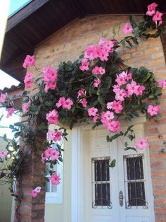 Dipladênia - Mandevilla splendens; Showy Rio dipladenias - vine or shrub. Hardy and heat tolerant