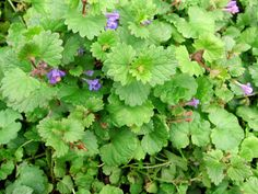 Ground Ivy - Edible Weeds