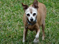 Lost male Miniature Pincher The Woodlands TX He got out of yard. Last seen in the house. He is 14 years old.