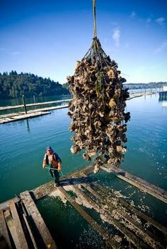 Harvesting oysters at Oregon Oyster Farm, from N. Scott Trimble, photographer extraordinaire