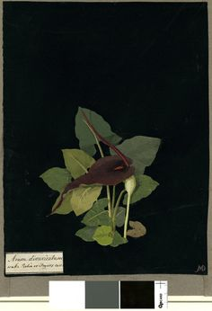 Arum Divaricatum, formerly in an album (Vol.I, 87); Wake Robin or Fryers Coin. 1779 Collage of coloured papers, with bodycolour and watercolour, on black ink background, Mary Delany (1700-1788)