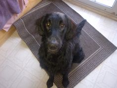 Maestro - at 7 months Flat Coated Retriever