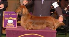 Image result for crufts 2016 dachshunds