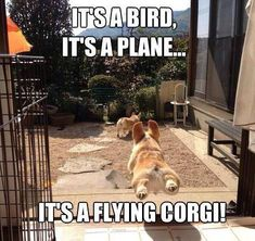 The all out belly-flop leap for the WIN! #corgipictures