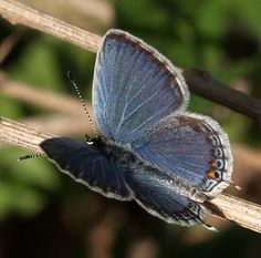 maryland butterfly species -