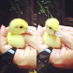 IN THE PALM OF A HAND. | Don't Be Sad, Look At These Baby Ducks