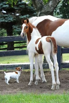 jack russell horses friends