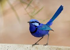 """Australian bird--Splendid Fairy Wren--gorgeous!"" Never seen one in the wild - determined to one day!"