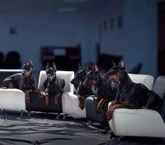 #Doberman's meeting